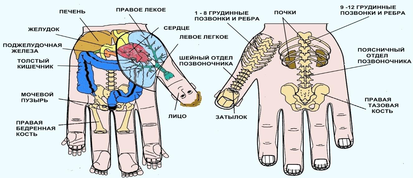 расположение органов в теле человека фото